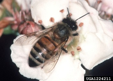 Adult Honey Bee